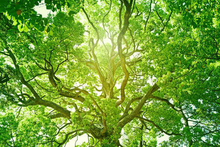 Big tree in a forest. Fresh green and ecology