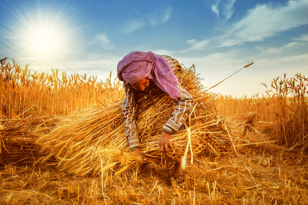 Photo for An old indian woman Farmer collecting bundles of wheat stalk ; Haryana ; India - Royalty Free Image