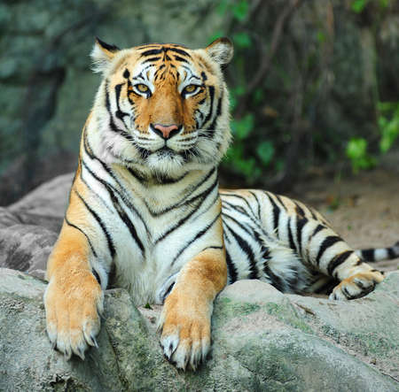 Indian tiger on rock