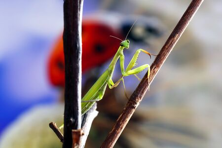 Photo pour Green mantis is a predator, it hunts for small and large insects is green - image libre de droit