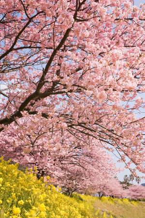 Cherry blossoms and yellow flowers.