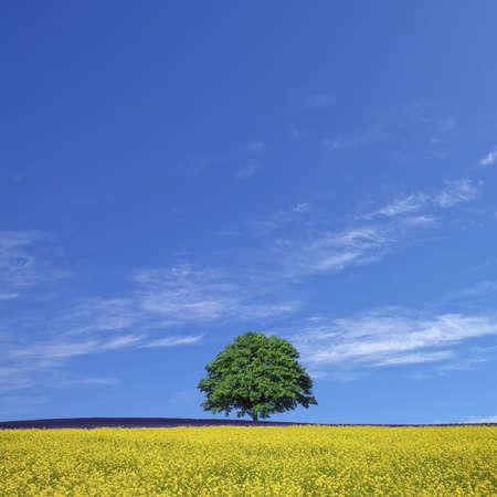 Photo pour lone tree and rape fields - image libre de droit