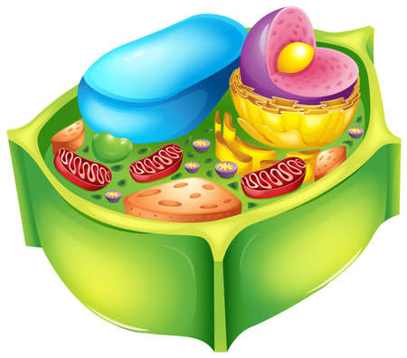 Illustration for Illustration of a plant cell - Royalty Free Image