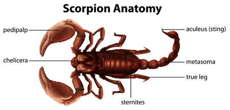 Illustration showing the anatomy of a scorpion