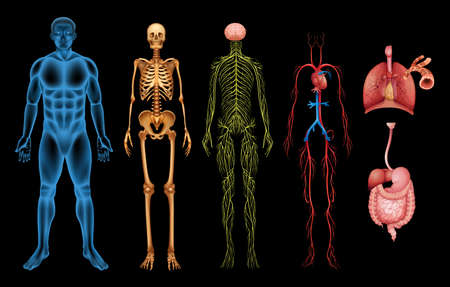 Illustrazione per Illustration of various human body systems and organs - Immagini Royalty Free