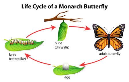 Illustration pour Illustration showing the Life Cycle of Monarchs - image libre de droit