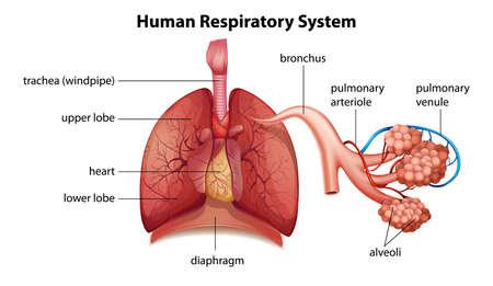 Illustration pour Illustration showing the human respiratory system - image libre de droit