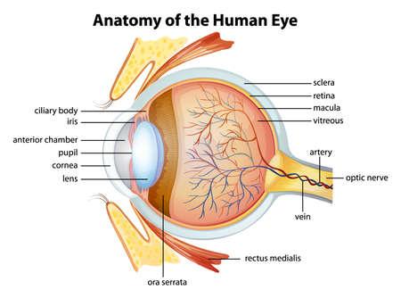 Ilustración de Illustration of the human eye anatomy - Imagen libre de derechos