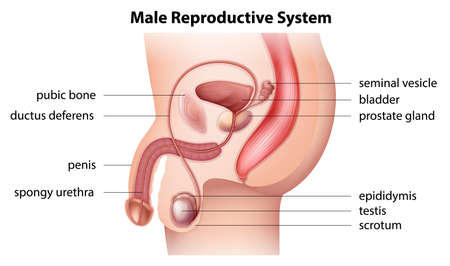 Illustration pour Illustration showing the male reproductive system - image libre de droit