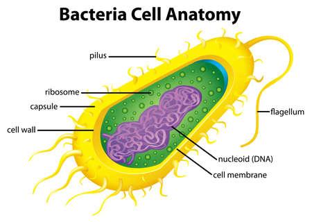 Illustration pour Illustration of the bacteria cell structure - image libre de droit