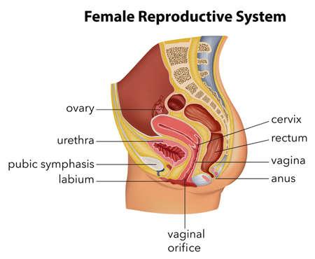 Ilustración de Illustration showing the female reproductive system - Imagen libre de derechos