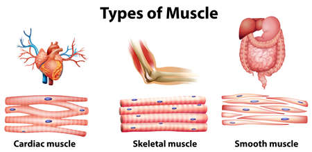 Ilustración de Illustration of the type of muscle on a white background - Imagen libre de derechos