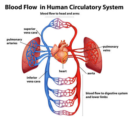 Illustration pour Illustration of the Blood flow in human circulatory system on a white background - image libre de droit