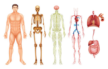 Illustrazione per Various human body systems and organs - Immagini Royalty Free