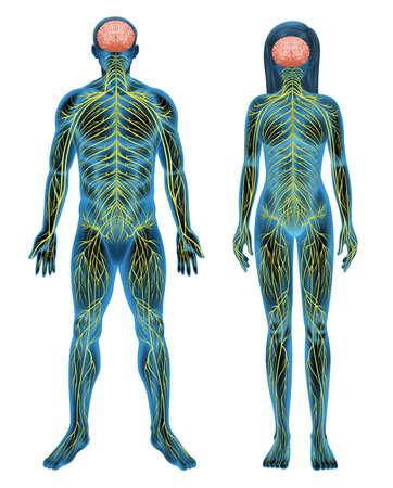 Illustration pour The human nervous system on a white background - image libre de droit