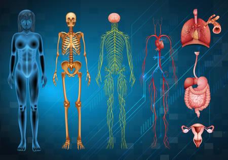 Illustration pour Various human body systems and organs - image libre de droit