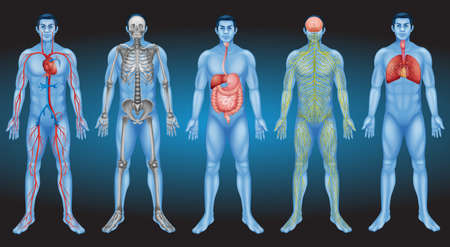 Illustrazione per Internal organs of the human body - Immagini Royalty Free