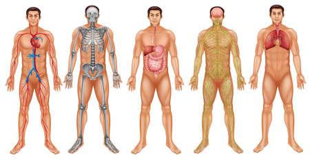 Illustrazione per Chart of human body system - Immagini Royalty Free