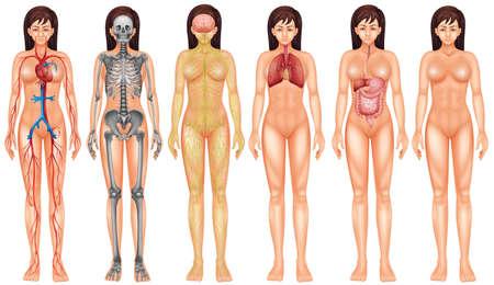 Illustrazione per Poster of female internal boby system - Immagini Royalty Free