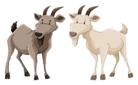 Two standing goats on white background