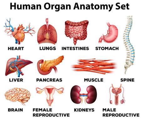 Ilustración de Human organ anatomy set illustration - Imagen libre de derechos