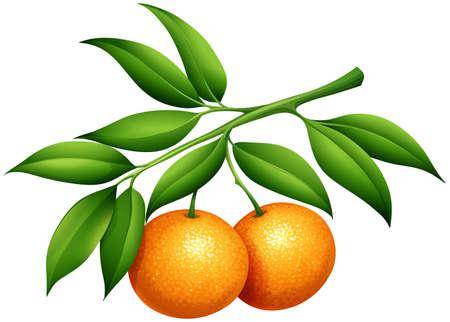Illustration pour Oranges with stem and leaves illustration - image libre de droit