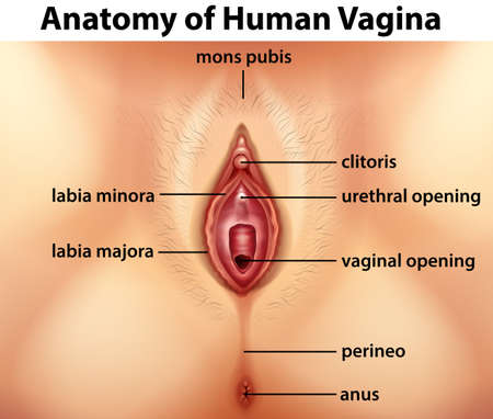 Illustration pour Diagram showing anatomy of human vagina illustration - image libre de droit