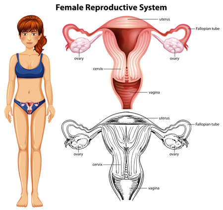 Illustration pour Female Reproductive System on White Background illustration - image libre de droit