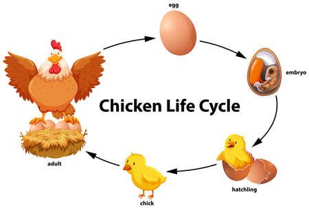 Photo pour Chicken life cycle diagram illustration - image libre de droit