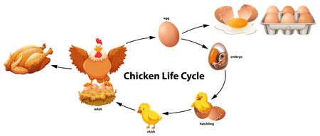 Foto de Science of Chicken Life Cycle illustration - Imagen libre de derechos