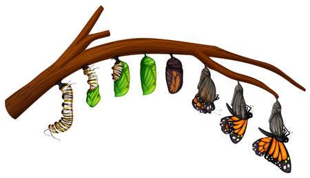 Photo pour A Set of Butterfly Life Cycle illustration - image libre de droit