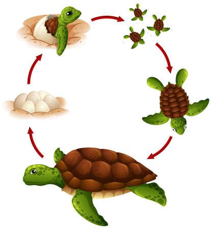 Foto de Life cycle of turtle illustration - Imagen libre de derechos