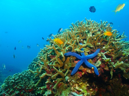 Photo pour Colorful underwater coral reef with blue sea star, starfish. Various fish in the azure ocean, scuba diving activity picture. - image libre de droit