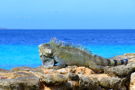 Photo pour Big green grey iguana lizard sitting on the stones near the sea. - image libre de droit