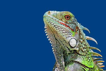 Foto de Bright green iguana head profile with blue sky background. - Imagen libre de derechos