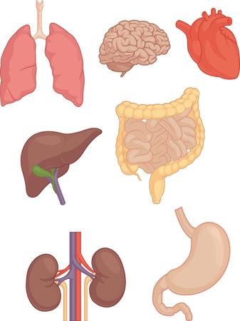 Photo pour Human Body Parts - Brain, Lung, Heart, Liver, Intestines - image libre de droit