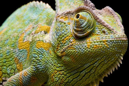 Close up of a Yemen/Veiled Chameleon on a branch against a black background