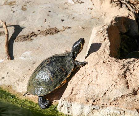 Foto de This is a turtle that comes out of the water - Imagen libre de derechos