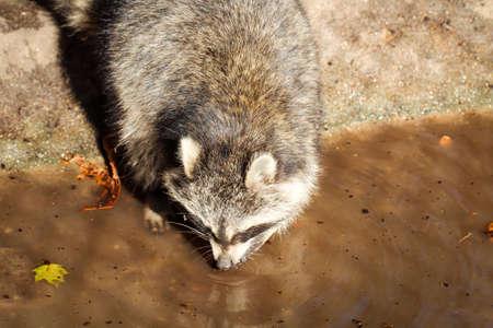 Photo pour raccoon on the water - image libre de droit