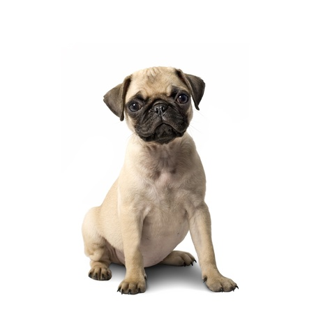 Cute Pug Puppy Isolated on White Background