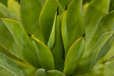 Foto de Closeup detail of the Agave goeppertiana plant - Imagen libre de derechos
