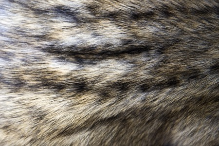 Photo for Closeup detail of the asian palm civet fur - Royalty Free Image