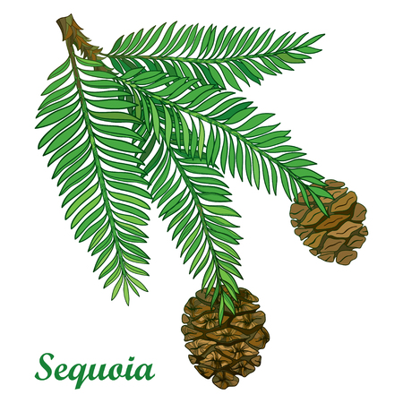 Illustration pour Branch with outline Sequoia or California redwood isolated on white background. Branch of coniferous tree with green pine and brown cones in contour style for botanical design. - image libre de droit