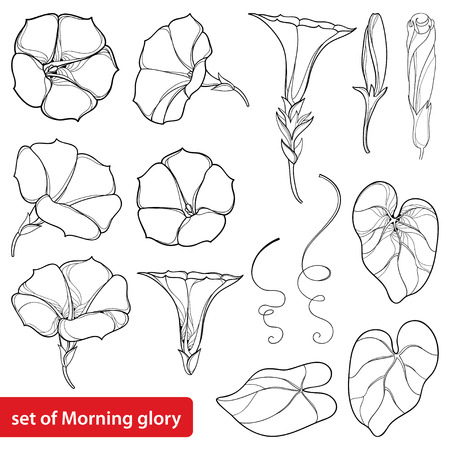 Illustration pour Set with outline Ipomoea or Morning glory flower, leaves and bud in black isolated on white background. Perennial climbing plant in contour style for summer design and coloring book. - image libre de droit