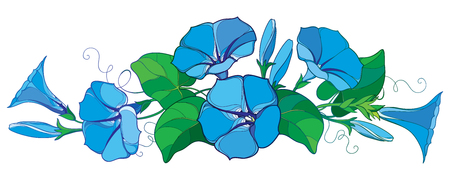 Illustration pour Horizontal bunch with outline Ipomoea or Morning glory flower bell in pastel blue, green leaf and bud isolated on white background. Perennial climbing plant in contour style for summer design. - image libre de droit