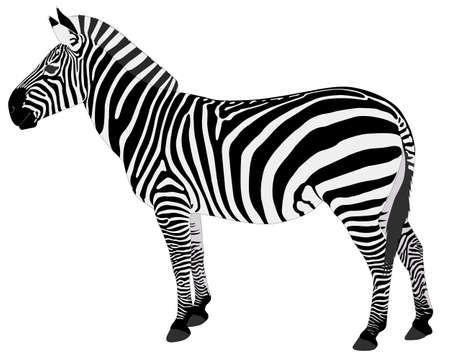 Illustration for detailed illustration of zebra - vector - Royalty Free Image