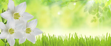 Spring banner with white daffodils over green background