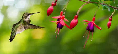 Photo pour Hummingbird (archilochus colubris) in flight with tropical flower - image libre de droit