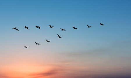 Foto de Beautiful Pelicans in flight against bright sky panoramic view - Imagen libre de derechos