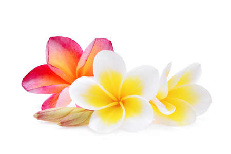 Photo for white and pink frangipani (plumeria) flower isolated on white background - Royalty Free Image